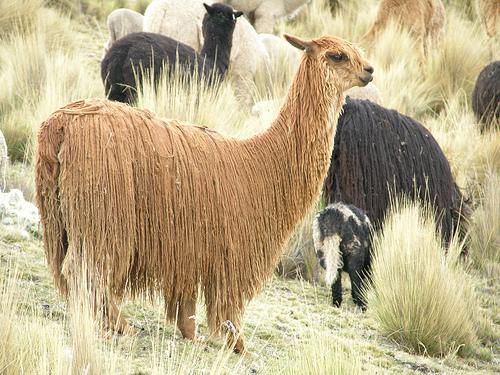 alpaca SURI에 대한 이미지 검색결과